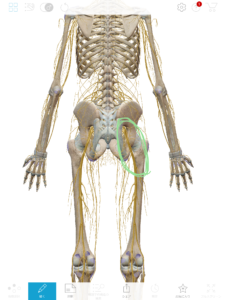 京都市 中京区 四条大宮 藤枝整骨院 人の骨格と神経を後ろから見た図です💡