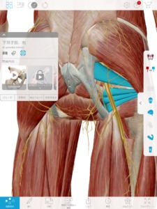 京都市 中京区 四条大宮 藤枝整骨院 坐骨神経とその周囲の筋肉を右後方から見た画像です。