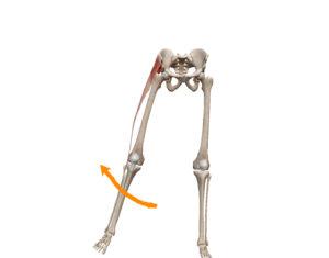 京都市 中京区 四条大宮 藤枝整骨院 股関節の外転の動きを表した図です。
