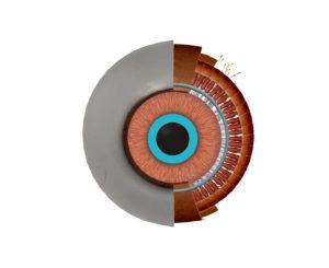 京都市 中京区 藤枝整骨院 左目の瞳孔括約筋の部分を青くした画像です