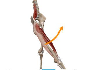 京都市 中京区 四条大宮 藤枝整骨院 右側面から見た股関節屈曲の動きを表した図です。