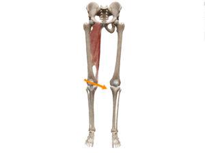 京都市 中京区 四条大宮 藤枝整骨院 股関節の内転の動きを表した図です。