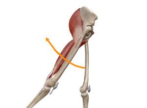 京都市中京区 四条大宮 藤枝整骨院 右側面から見た股関節の伸展の動きを表した図です。