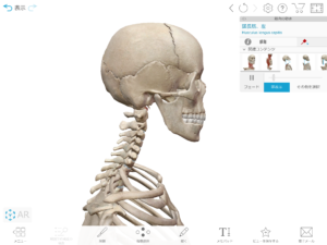 京都市 中京区 四条大宮 藤枝整骨院 頸椎と頭蓋骨を右側から見た画像です