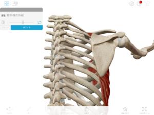 京都市 中京区 四条大宮 藤枝整骨院  右側の肩甲骨の外転の動きを表した図です