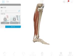 京都市 中京区 四条大宮 藤枝整骨院 右足の下腿部の筋肉を右側面から見た画像です。