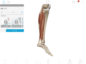 京都市 中京区 四条大宮 藤枝整骨院 右下腿部の筋肉により足関節が底屈しているところを右側面から見た画像です。