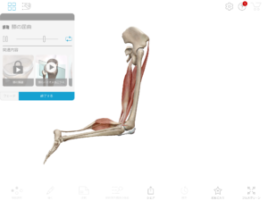京都市 中京区 四条大宮 藤枝整骨院 右足のハムストリングスによって膝関節が屈曲しているところを右側面から見た画像です。