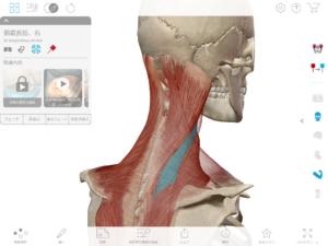 京都市 中京区 四条大宮 藤枝整骨院 頚腸肋筋を右斜め後方から見た図です。
