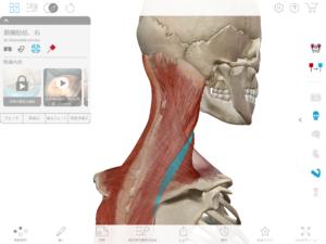 京都市 中京区 藤枝整骨院 頚腸肋筋を右斜め後方から見た図です。