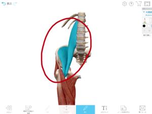 京都市 中京区 四条大宮 藤枝整骨院 右の腸腰筋を正面から見た図です