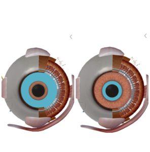 京都市 中京区 藤枝整骨院 左目の瞳孔散大筋と瞳孔括約筋を正面から見た画像